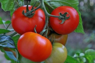 Tomaten selbst anbauen