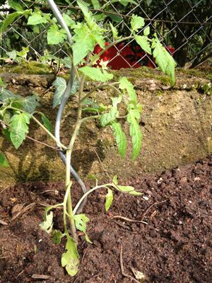 Die junge Tomaten-Pflanze - soeben ins Beet gesetzt