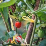 Wachsende Tomaten im Garten (Quelle: Macau Photo Agency / Unsplash)