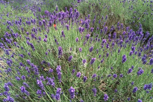 Lavendel im Juni