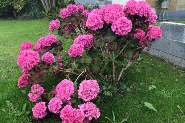 Rosa blühende Hortensie im Garten