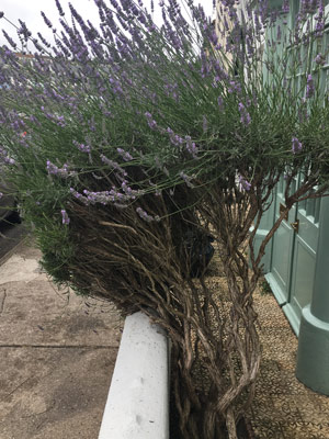 Lavendel auf einem Balkon