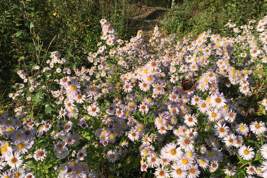 Wilde Astern mit einem Schmetterling blühen im Herbst.