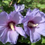 Zwei blaue Hibiskusblüten