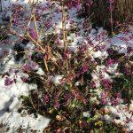 Schönfrucht-Strauch mit seinen violetten Beeren im ersten Schnee im Dezember