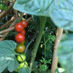 Tomaten-Früchte reifen an der Pflanze im Juli.